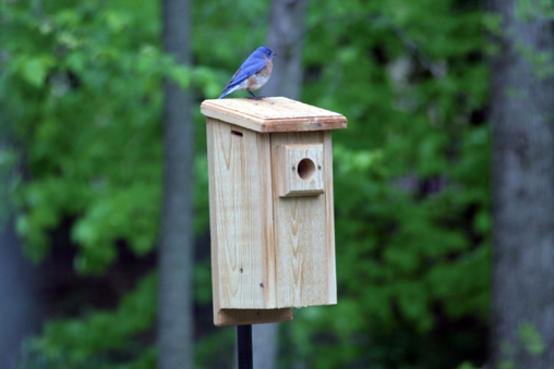 BB1_5DwBluebird