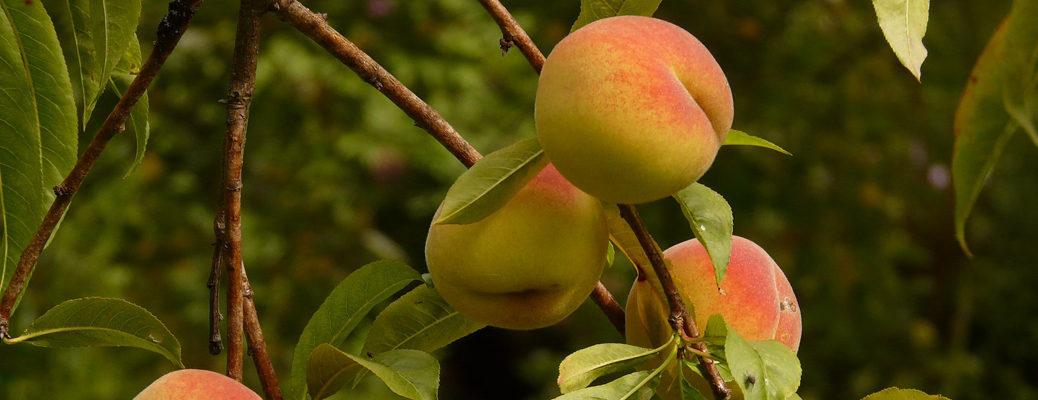 Fruit Amp Nut Trees Shrubs Amp Vines Noble S Greenhouse